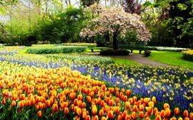 Картинка трава, деревья, цветы, парк, дорожка, тюльпаны, Нидерланды
