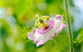 Обои цветок, розовая, лепестки, пестик, тычинка, Пассифлора