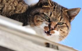Обои кот, взгляд, животное, окрас, уши