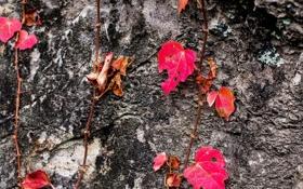 Обои растение, листья, текстура, осень, дерево