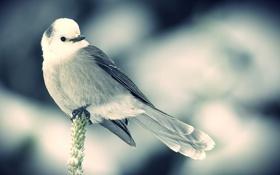 Обои снег, птица, сидит, колосок