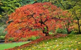 Картинка осень, листья, деревья, Природа, клен