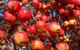 Картинка природа, дерево, яблоки, сад, урожай