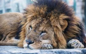 Картинка кошка, морда, лев, грива