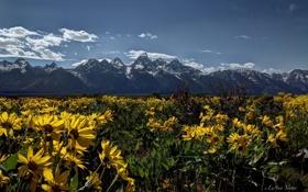 Обои цветы, луг, Вайоминг, Wyoming, Гранд-Титон, Grand Teton National Park, Скалистые горы