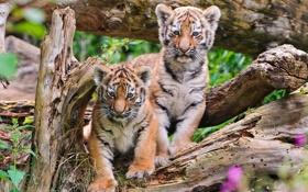 Обои тигры, тигрята, брёвна
