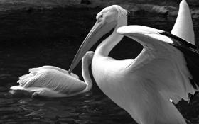 Обои вода, черно-белое, птички, пеликан