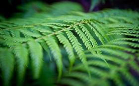 Обои зелень, лес, лист, растение, папоротник, Australia, New South Wales