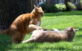 Обои лето, коты, драка, лужайка
