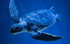 Обои черепаха, плавает, панцирь