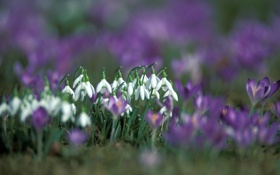 Обои цветы, природа, весна, подснежники, крокусы, первоцвет