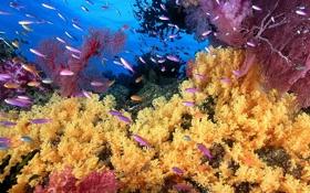 Обои желтый, кораллы, лиловый, фото, рыбы