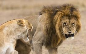 Картинка животные, хищники, лев, львы, львица