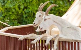 Обои козел, пара, коза, копыта