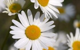 Обои белый, макро, цветы, ромашки