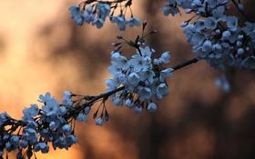 Обои цветы, ветка, стебель, бутоны, вишни, боке, синие цветы