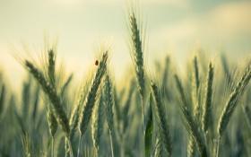 Картинка поле, макро, жук, колоски, коровка
