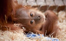 Картинка обезьяна, рыжая, monkey, Орангутан