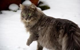 Картинка зима, кошка, глаза, кот, взгляд, снег, лапы