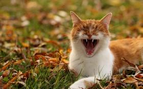 Картинка трава, кот, усы, рыжий, мордочка, зевает