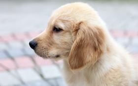 Картинка взгляд, щенок, ушки, молочный