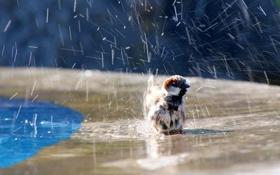 Картинка вода, брызги, птица, купание, воробей