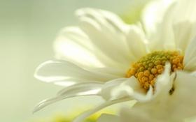 Картинка бледный, цветок, желтый, белый, пастель
