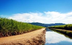 Обои зелень, вода, поля, канал, Sugarcane Fields, сахарный тростник