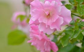 Обои макро, роза, лепестки, боке
