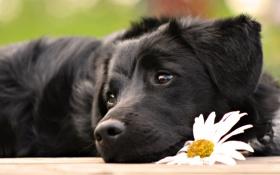 Картинка Собака, ромашка, милашка