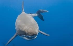 Обои море, акула, красава, Белая акула
