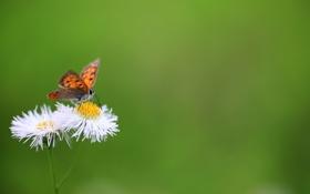 Картинка цветы, зеленый, фон, бабочка, метелик