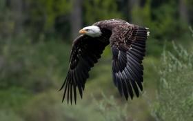 Обои крылья, полёт, Белоголовый орлан, Bald Eagle
