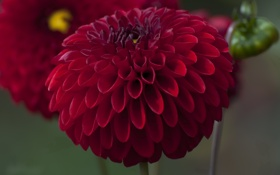 Картинка лепестки, бутоны, цветение, георгин