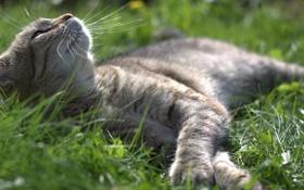 Обои кот, лежит, котяра, кошак, травка