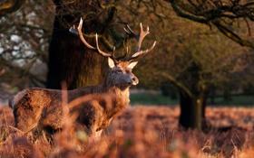 Картинка осень, морда, олень, рога, красавец