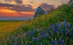 Картинка люпин, камни, закат, природа, цветы
