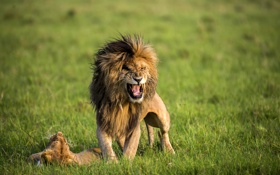 Обои трава, природа, хищники, пасть, пара, грива, Лев