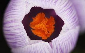 Обои белый, цветок, макро, полосатый, первоцвет, крокус, весенний