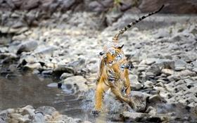 Обои вода, природа, тигры
