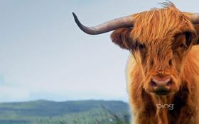 Обои корова, Шотландия, рога, остров Скай