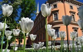Обои тюльпаны, здание, зелень