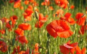 Картинка красный, мак, Poppies