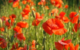 Обои красный, мак, Poppies