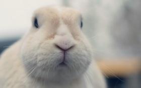 Обои морда, макро, кролик