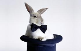 Обои фон, бабочка, фокус, шляпа, Кролик, галстук, Rabbit