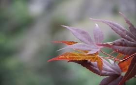 Обои листья, макро, клен