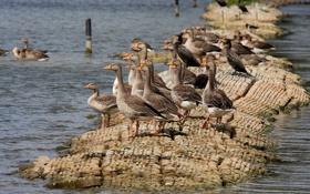 Картинка nature, water, rocks, birds, ducks, geese