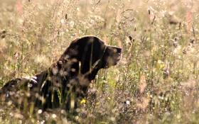 Обои поле, природа, собака