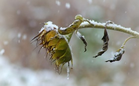 Обои осень, снег, подсолнух, увядание
